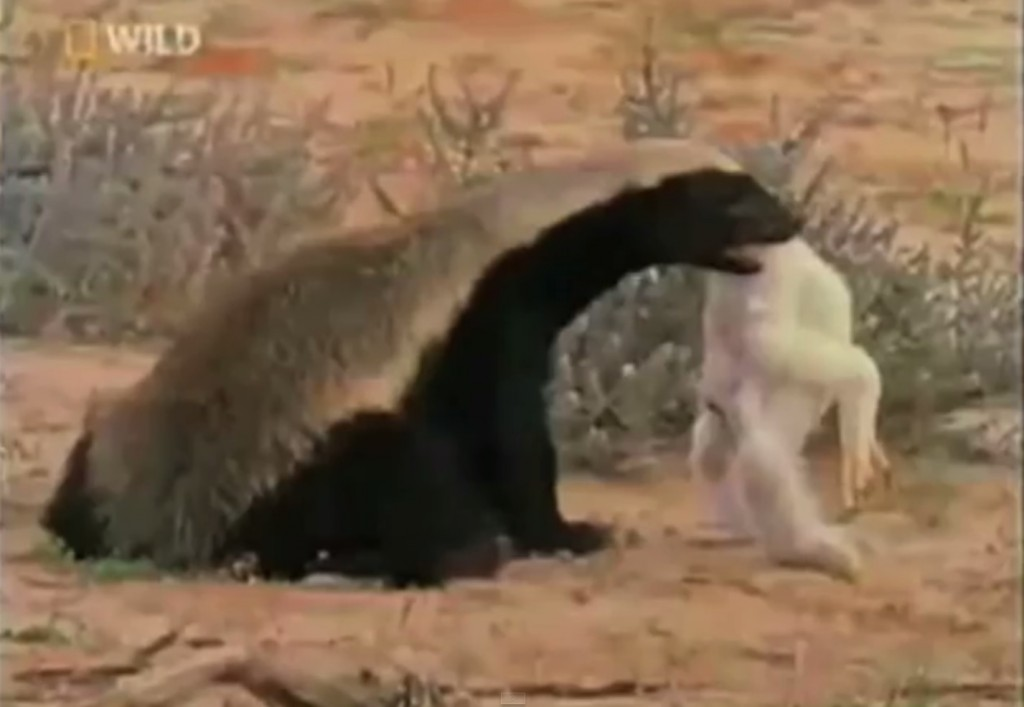 Honey Badger National Geographic Special