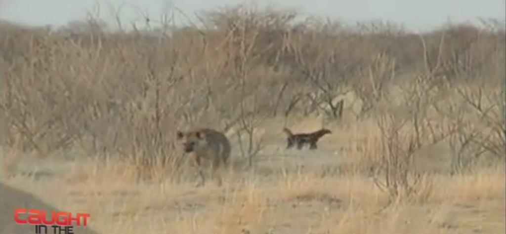 Honey Badger versus Spotted Hyena