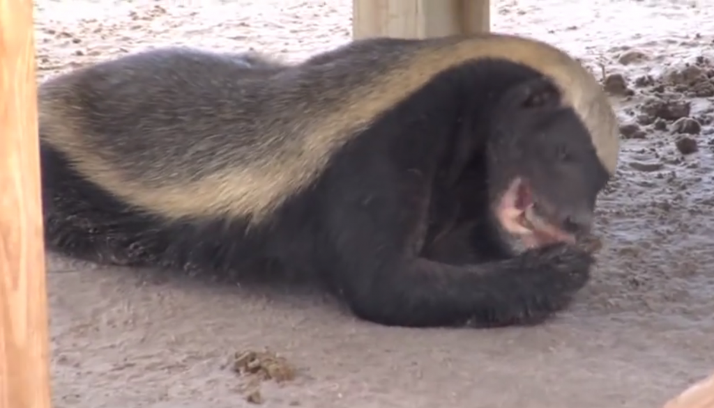 honey_badger_naples_fl