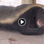 Honey Badgers in Naples, FL