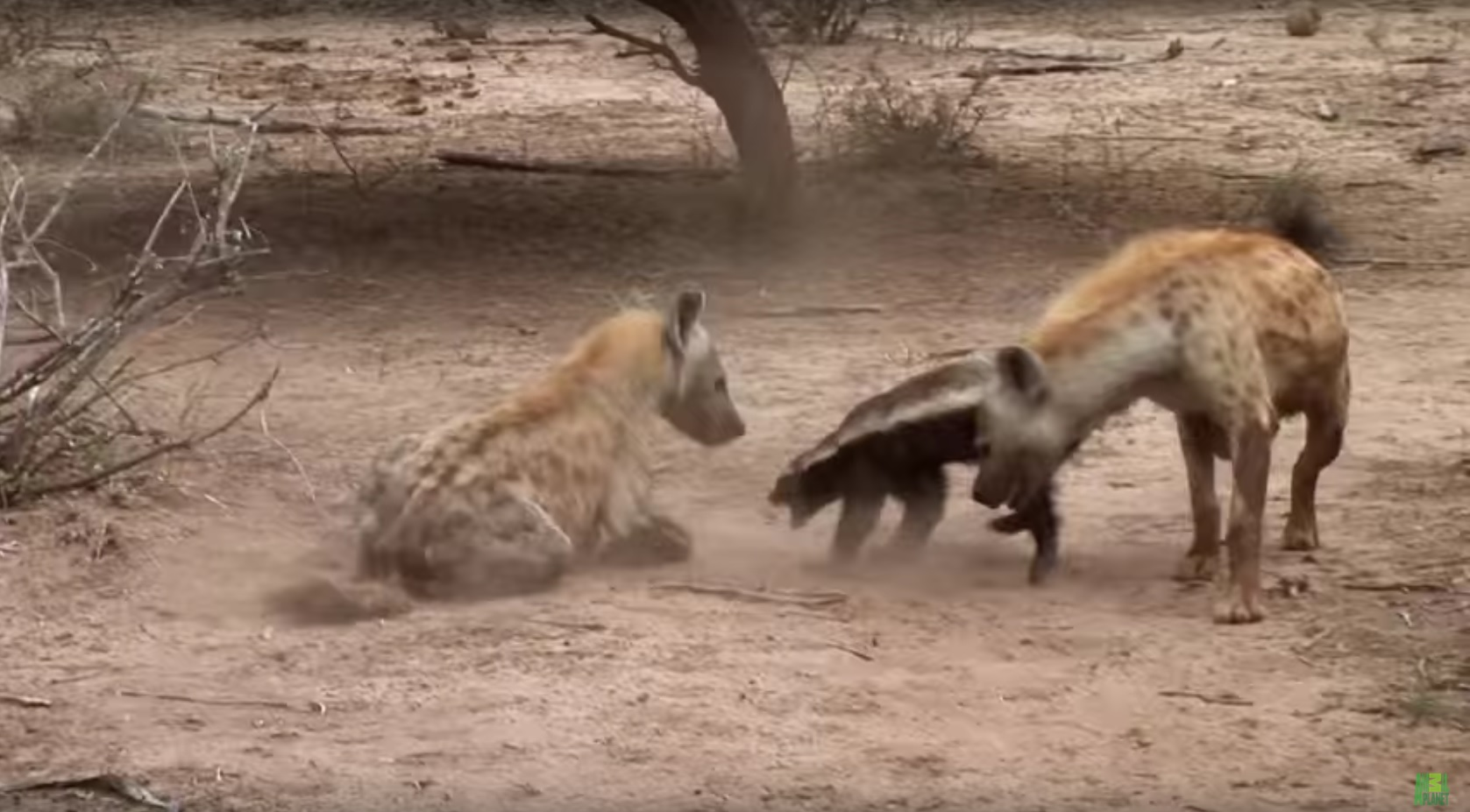hyenas attack honey badger