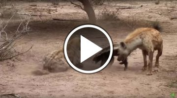Hyenas Attack Honey Badger