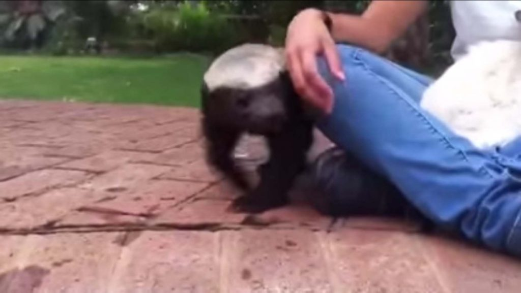 Pet Honey Badger by Pool