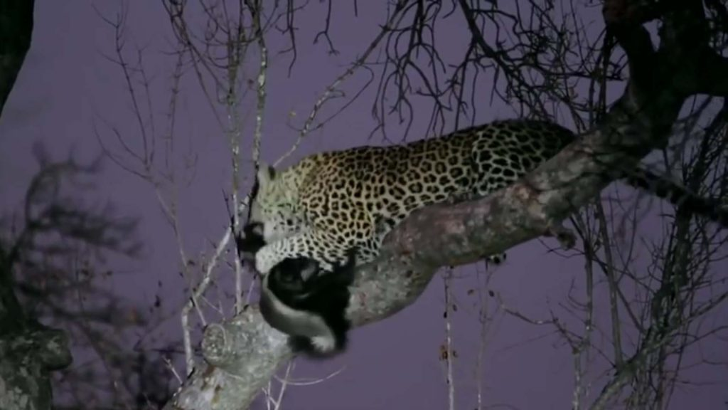 Honey Badger vs Leopard in Tree in Africa