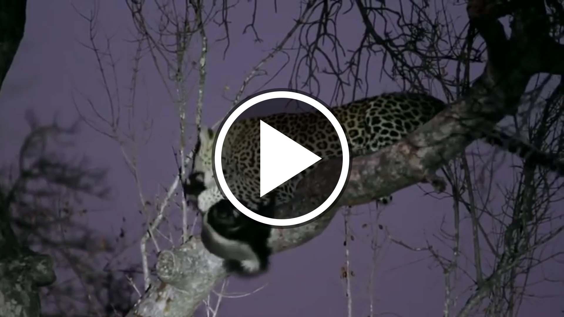 honey badger attempts to evade leopard