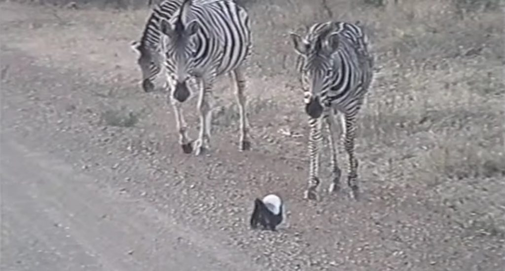 Baby Honey Badger vs. Three Zebras