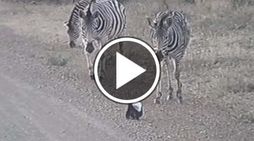 Baby Honey Badger vs. Dazzle of Zebras